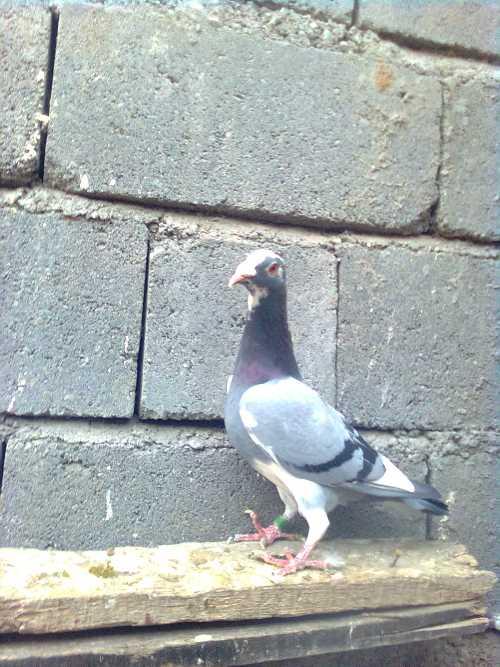 عکس کبوتران تهران